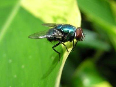 Lalat, antara Penyakit dan Kesehatan